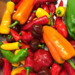 Paprikat ja chilit