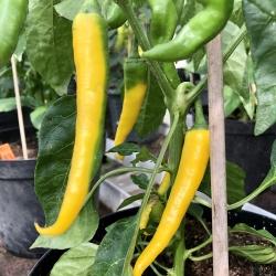 Cayanne Gold -chili