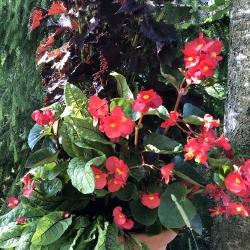 Kesäbegonia, Begonia Semperflorens-Ryhmä